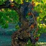 101 year Old Grenache Besson At Harvest