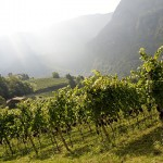 Castelfeder, Pinot Noir Vineyard, morning mist