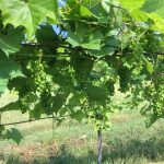 Vermont Grapes