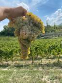 Verdicchio cluster La Staffa, Marche